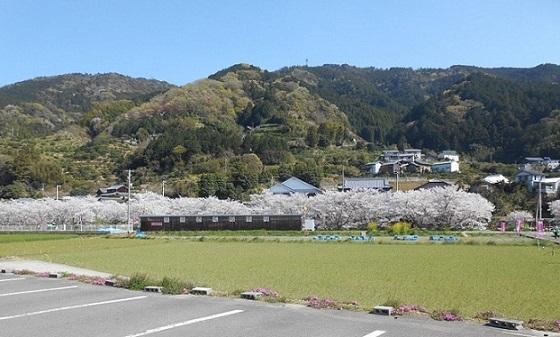 勝浦桜2 (2).JPG